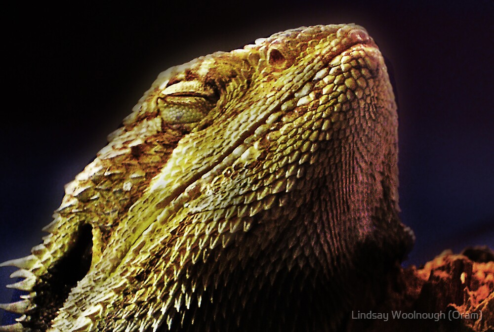 The Bearded Dragon by Lindsay Woolnough (Oram)