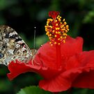 Painted Lady and Hibiscus by Colleen Drew