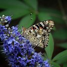 Painted Lady on Texas Lilac by Colleen Drew
