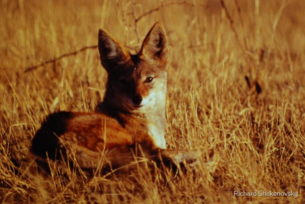 Silverback jackal in the shadows by Richard Shakenovsky