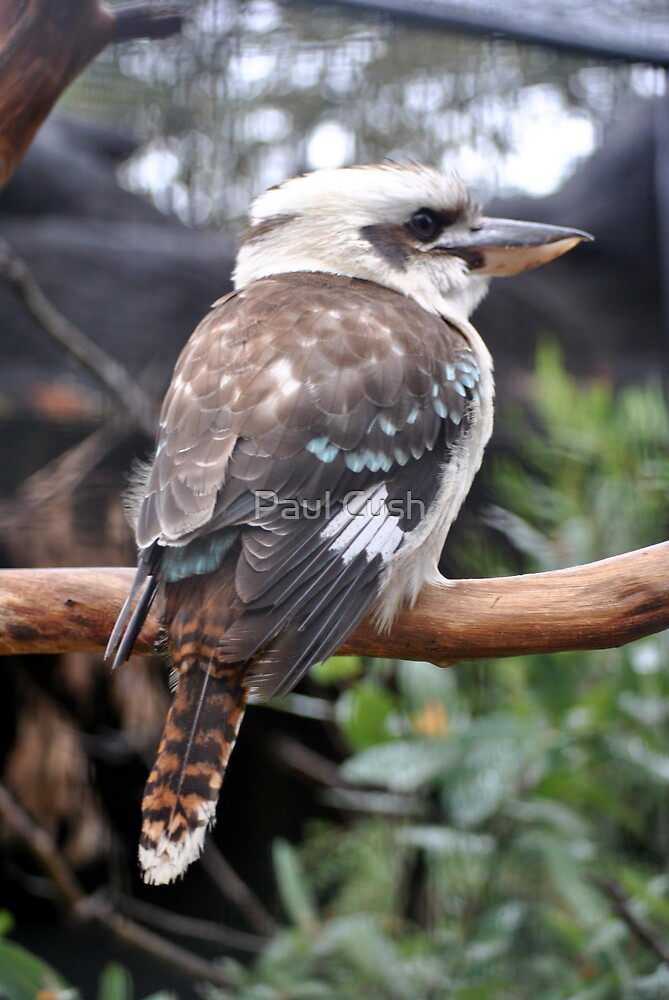 Kookaburra by Paul Cush