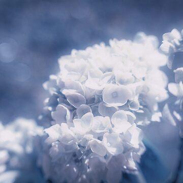 Grace and Beauty Defined a blue Hydrangea flower by MarniePatchett