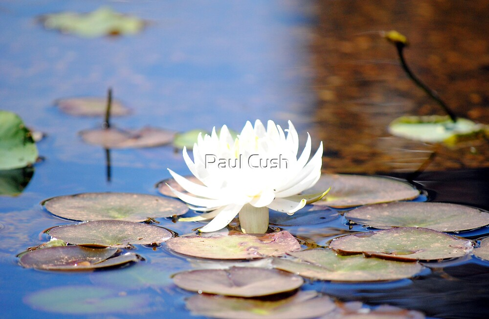 Lotus in the Pond by Paul Cush