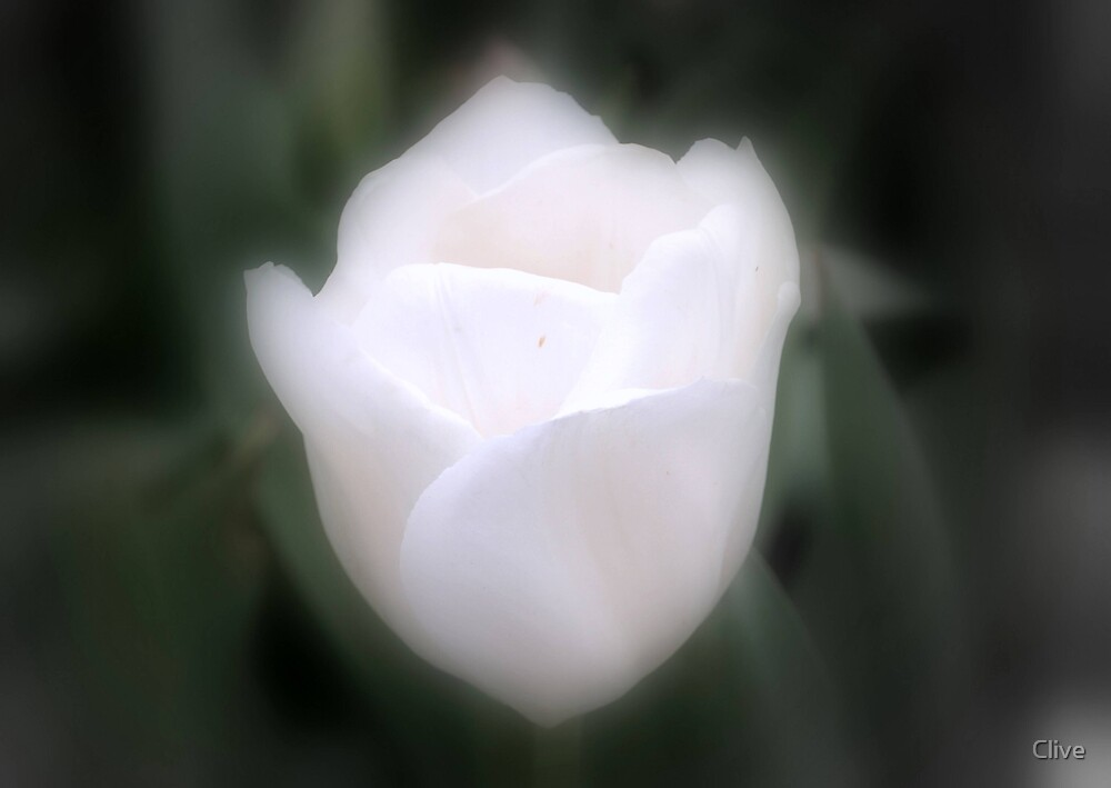 Angelic Tulip by Clive