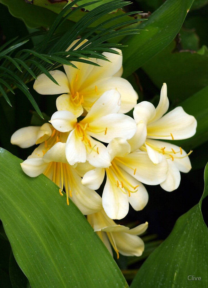 Clivia by Clive