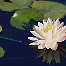 Myra Water Lily by Robert Armendariz