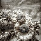 Sunflowers by Marcia Glover