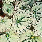 Begonia Leaves by OLIVIA JOY STCLAIRE