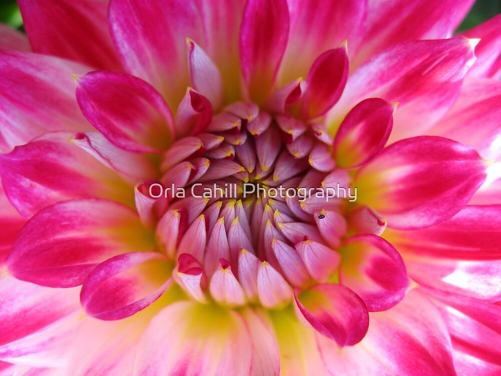 Glorious Dahlia by Orla Cahill Photography