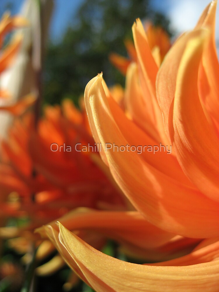 Dahlia Abstract no.2 by Orla Cahill Photography