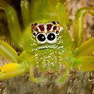 Bright green spider with unusual markings by Richard Majlinder