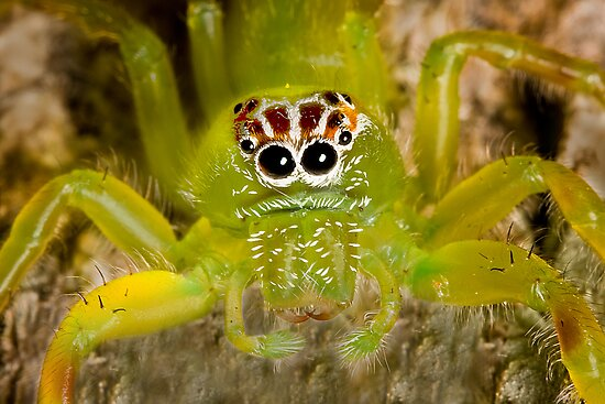 Quot Bright Green Spider With Unusual Markings Quot Posters By