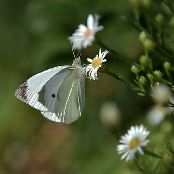 The Elusive Butterfly (Cabbage butterfly) by Poete100