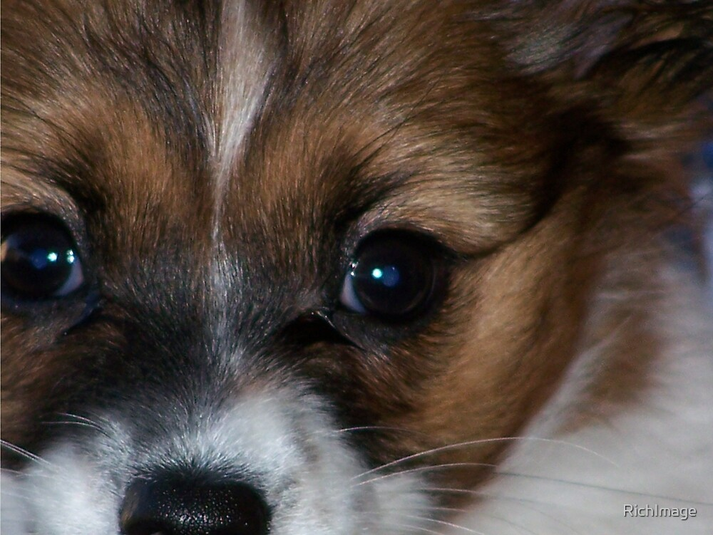 papillon puppy by RichImage