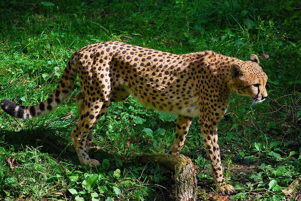 Cheeta Girl  by Michelle BarlondSmith