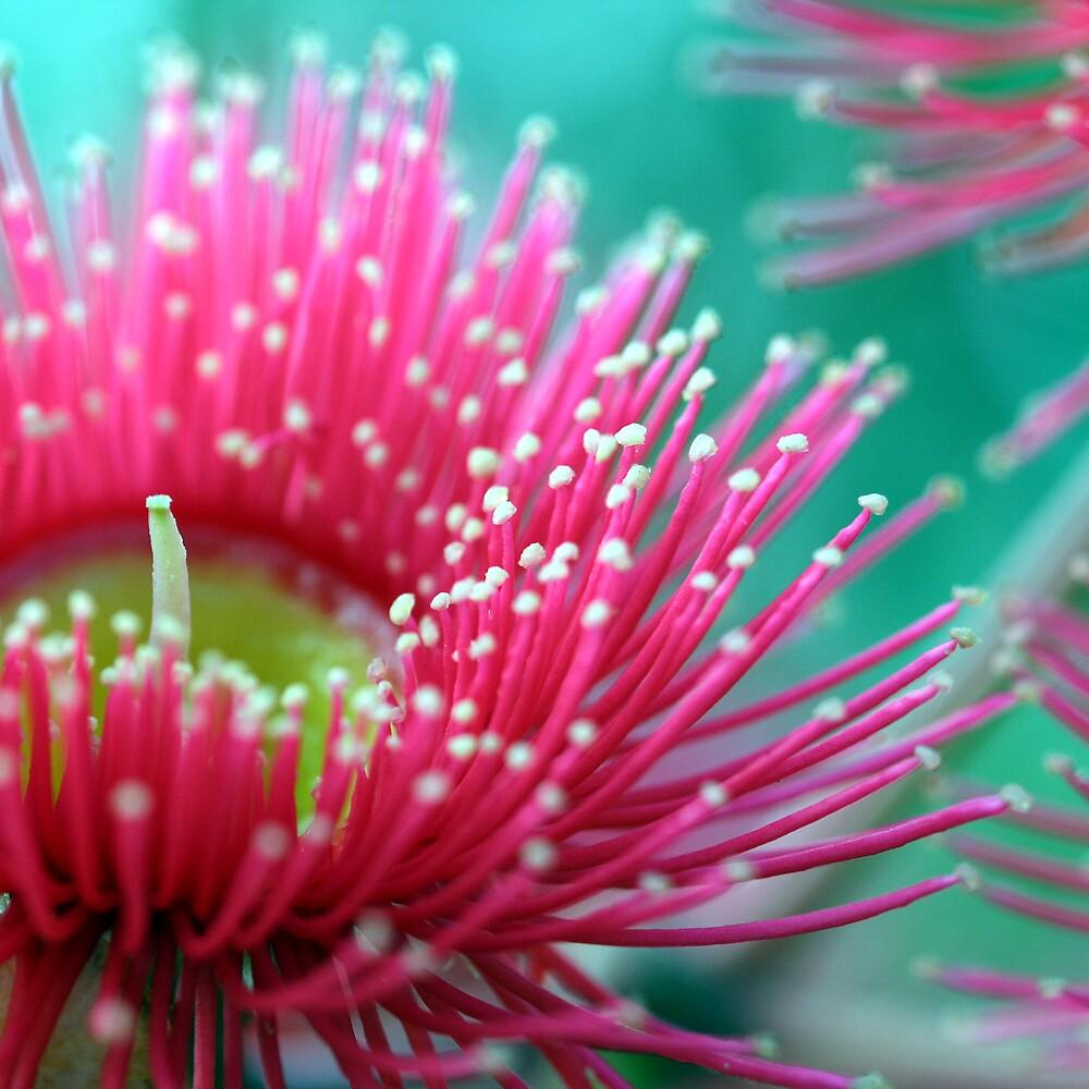 flowering gum by lorelle