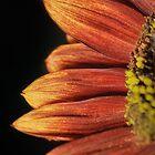 Macro SunFlower  by bonidog