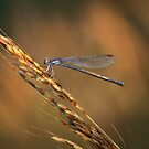 Damselfly Hunting in the Evening Sunlight by David Lamb