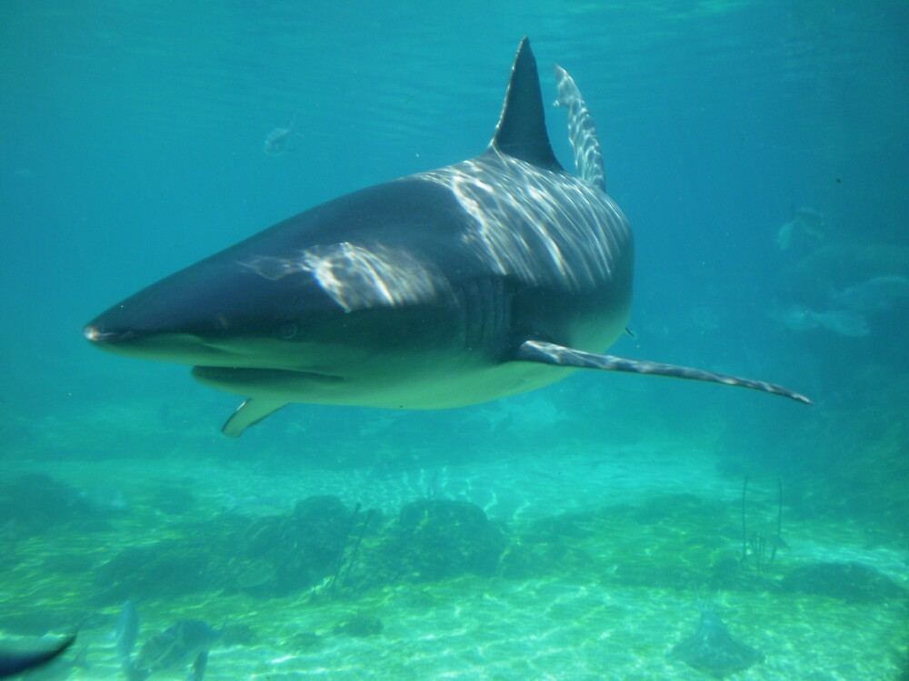 Shark by Ch8mpion