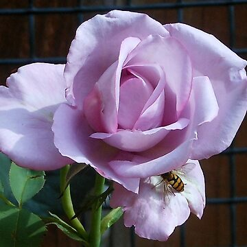 No Hiding Place! Bee on Rose by BlueMoonRose