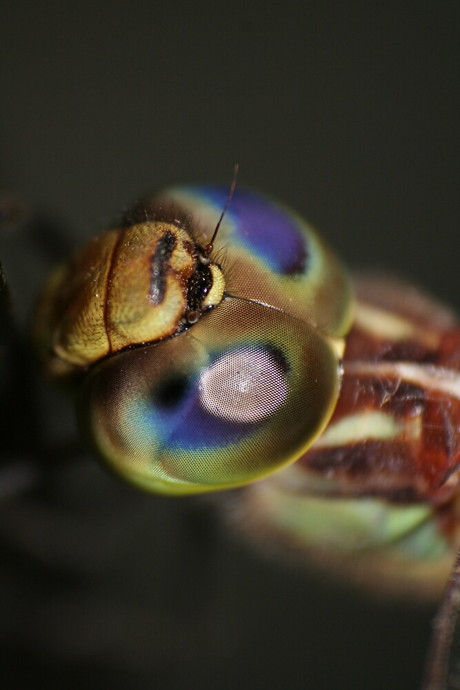 Dragon fly by columboola