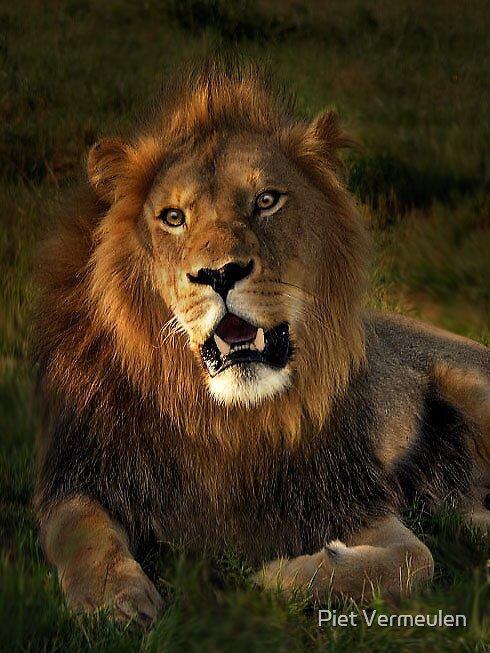 African lion by Piet Vermeulen