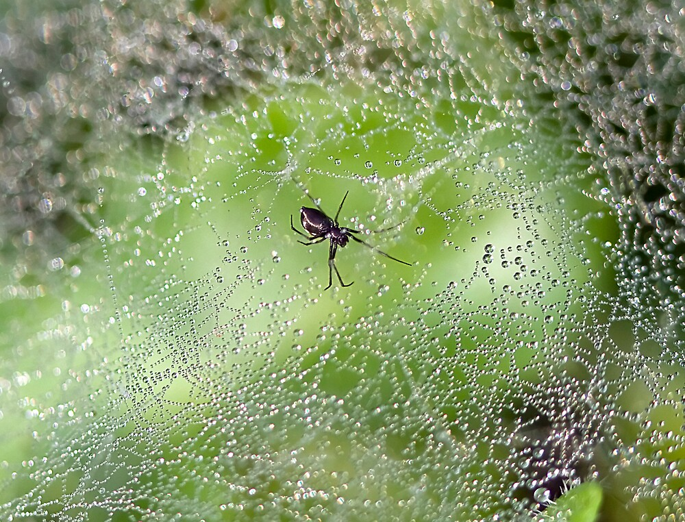 Spider Shimmer by Ann  Palframan