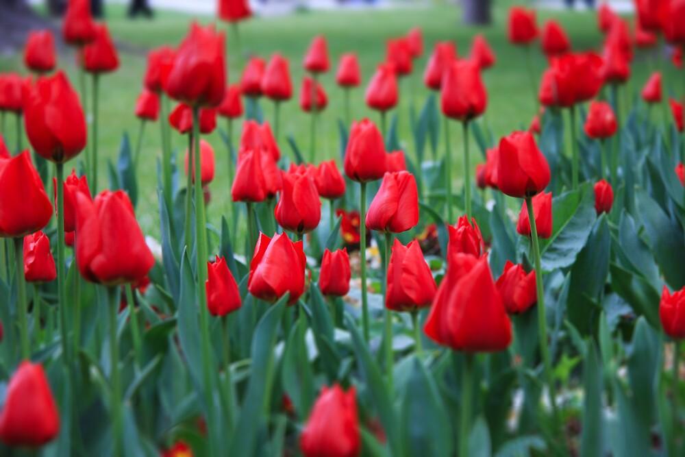 Tulips at Topkapı Palace, Istanbul by Gavin Craig