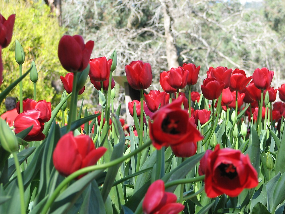 Red Tulips by Frank1945
