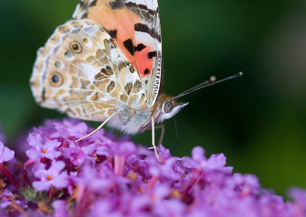 Painted lady Butterfly by Carole Stevens