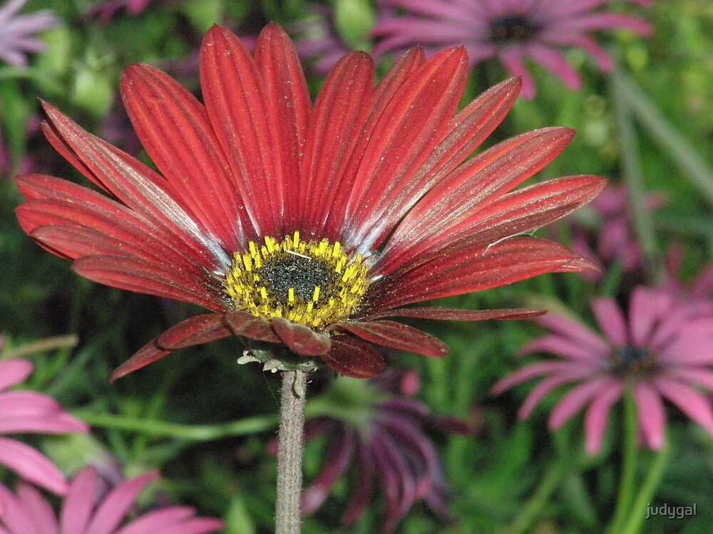 Red African Daisy by judygal