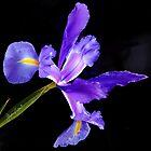 iris from my garden by gaylene