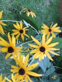 sunflower field by lHeart