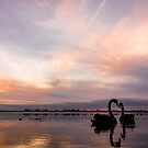 Sunset Swans by Mitchell Harris