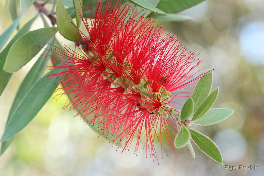 Bottle Brush Flower by ElyseFradkin