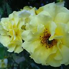 Scented yellow roses by Ana Belaj