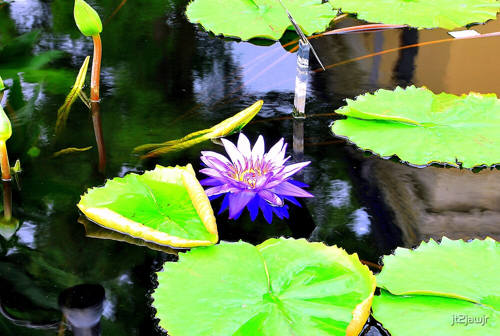One Water Lilly by jt2jawjr