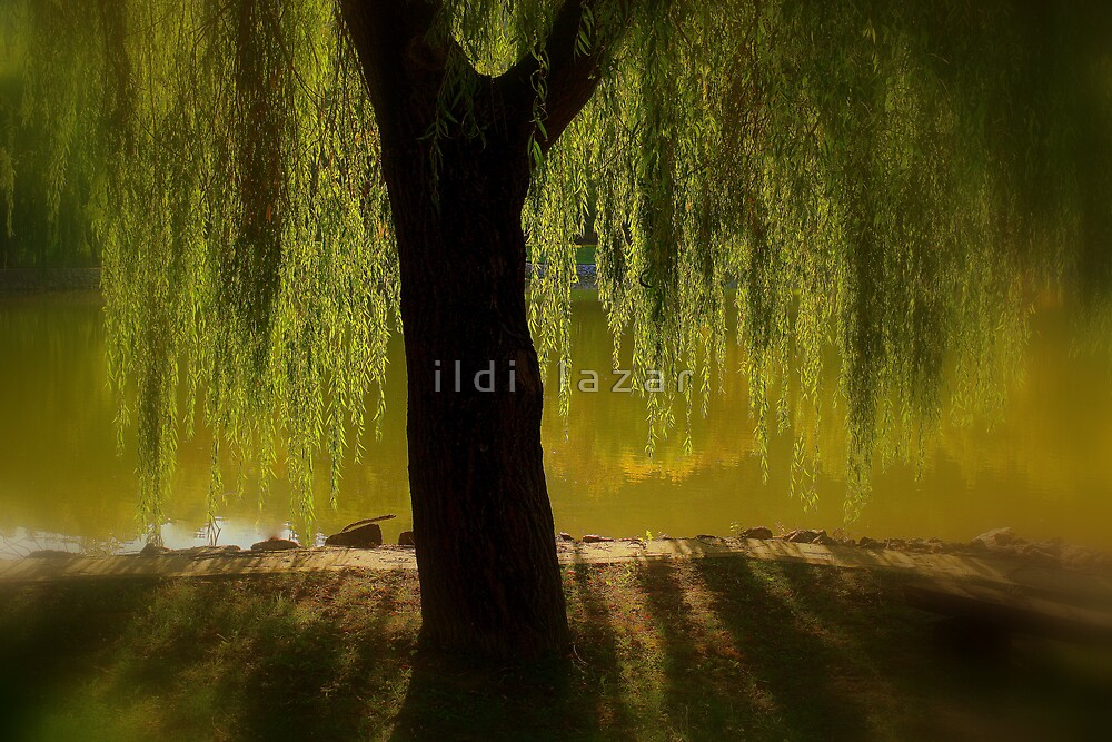 Willow in the sunset by i l d i    l a z a r