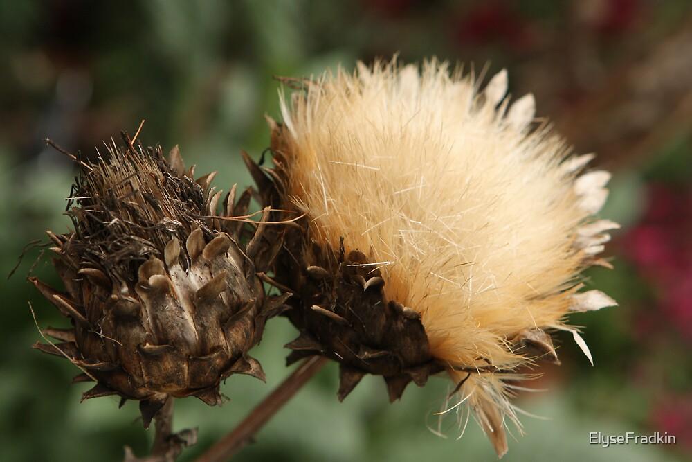 Cardoon Gone to Seed by ElyseFradkin