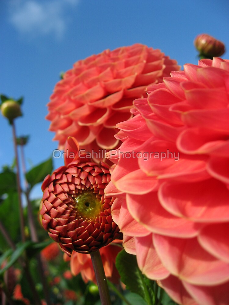 Tangerine Dahlia Bud by Orla Cahill Photography
