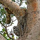 The Leopard Sits In Wait by Kay Brewer