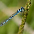 Blue Damselfly by Carole Stevens