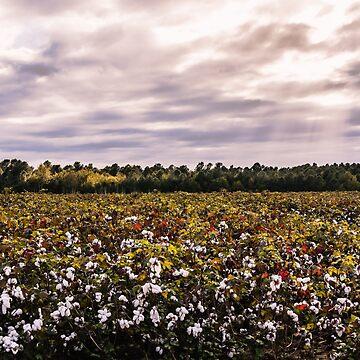Cotton Field 23 by andreaanderegg