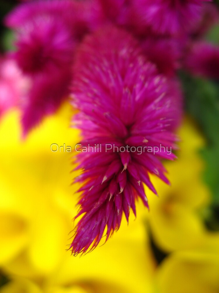Pink and Yellow by Orla Cahill Photography