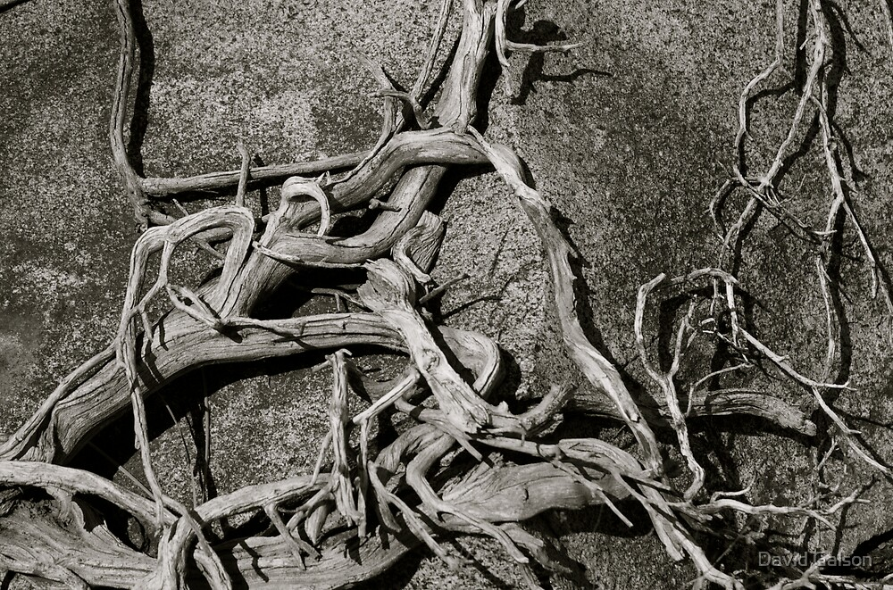 Roots on Rock - Black & White by David Galson