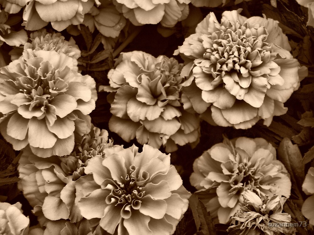 Sepia Marigolds by suzannem73
