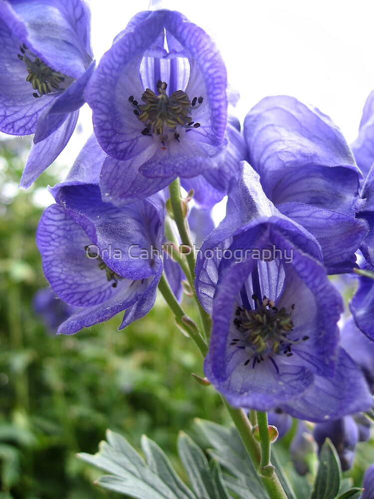 Lilac Blues by Orla Cahill Photography