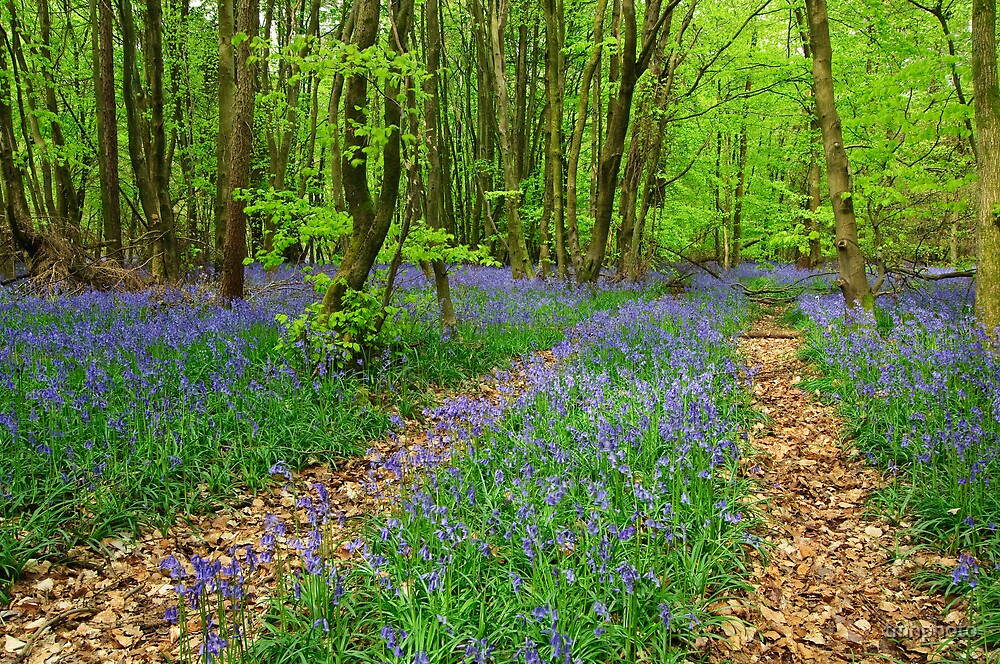 Blue Bell Wood by tmhphoto