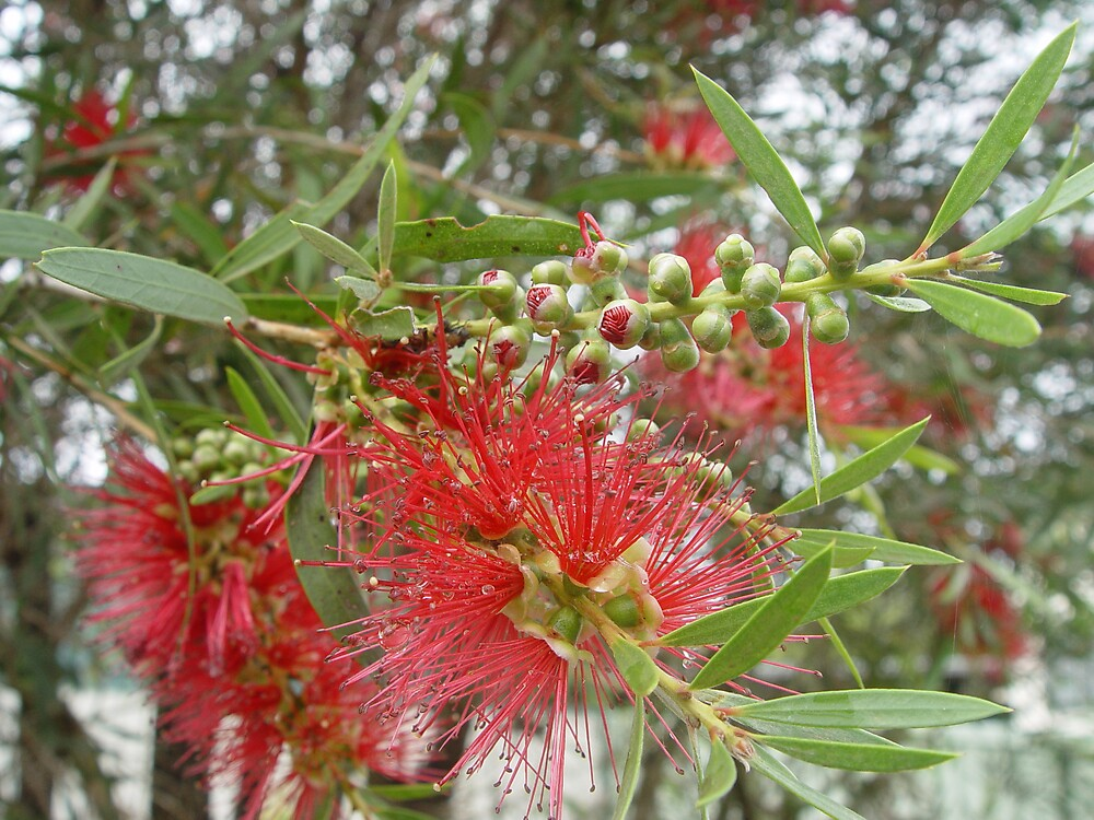 Bottlebrush II by Gary Kelly