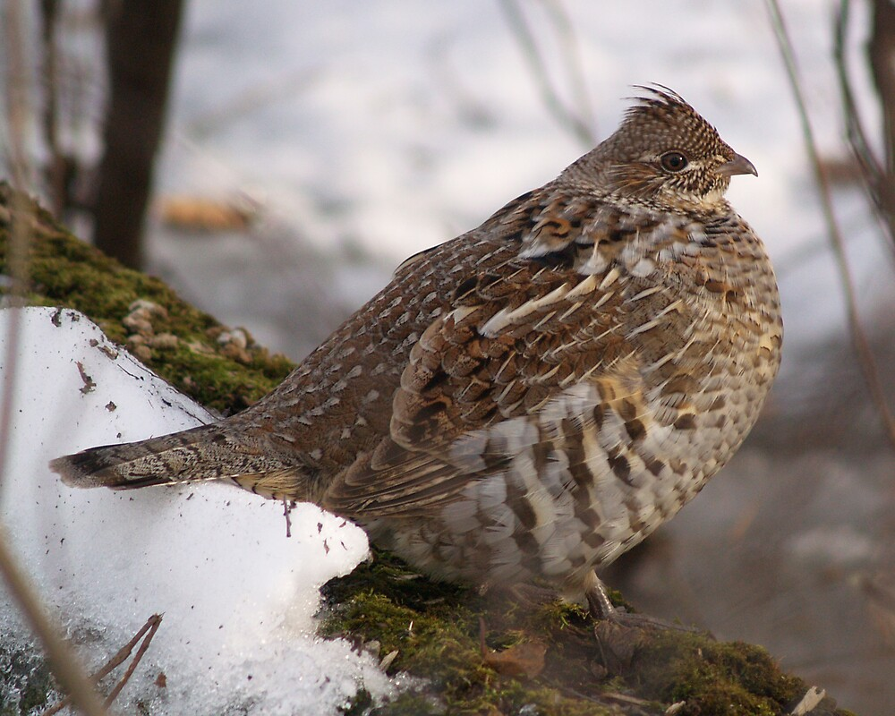 Ruffed Grouse 01 by DigitallyStill